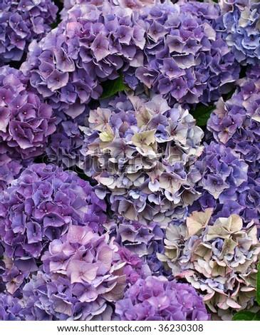 beautiful purple hydrangea - stock photo