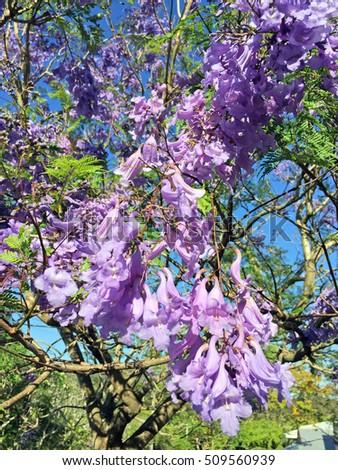Beautiful Purple Jacaranda Tree Local Park Stock Photo Safe To Use