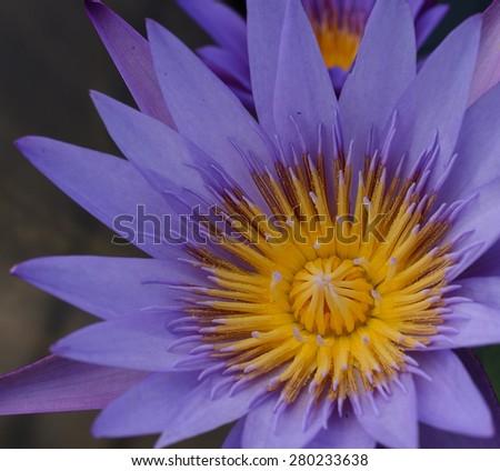 Beautiful purple lotus flower blooming - stock photo