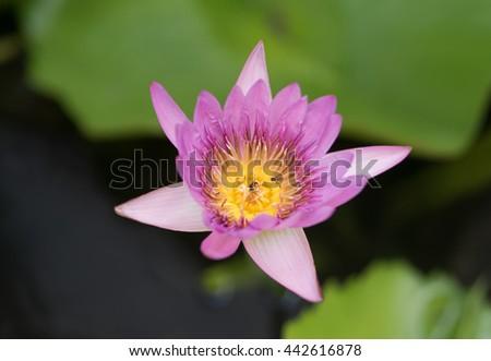 Beautiful Purple Lotus Flower Blooming In The Water Jar - stock photo