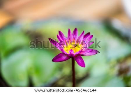 Beautiful purple lotus flower, Violet lotus blooming in the pond, Closeup lotus flower, Lotus violet flower of thailand. - stock photo