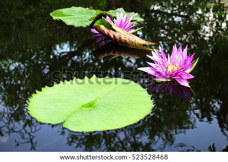 Beautiful purple lotus flower violet lotus blooming in the pond closeup lotus flower Lotus violet nice water lily flower of thailand.