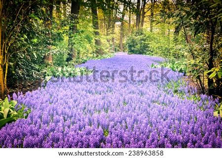 Beautiful purple muscari in Keukenhof Gardens, Netherlands - stock photo