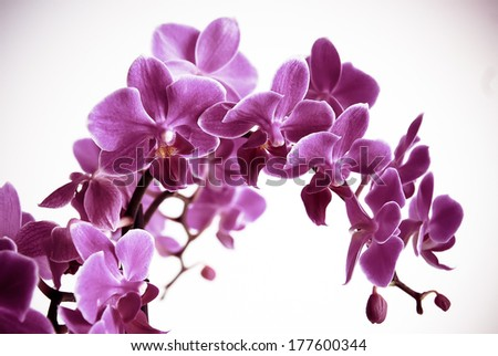 Beautiful purple orchid flowers cluster isolated on white background, in the pantone color of the year 2014, Radiant Orchid 18-3224 colored, toned photo - stock photo