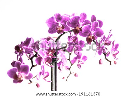 Beautiful purple orchid flowers cluster isolated on white background, the pantone color of the year 2014, Radiant Orchid 18-3224 colored