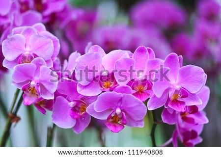 Beautiful purple orchid - phalaenopsis - stock photo