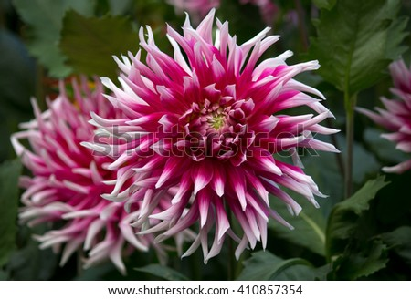 Beautiful purple pink and white colored dahlia flower in a green natural environment - stock photo