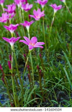 Beautiful purple rain lily flower - stock photo