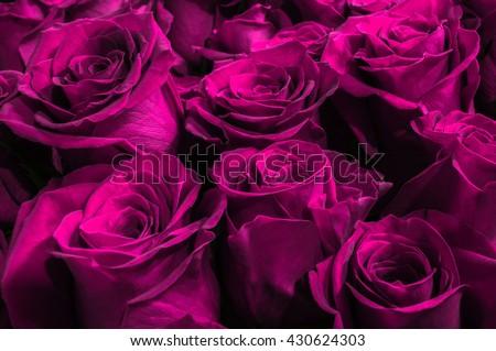 purple rose stock images, royaltyfree images  vectors  shutterstock, Beautiful flower