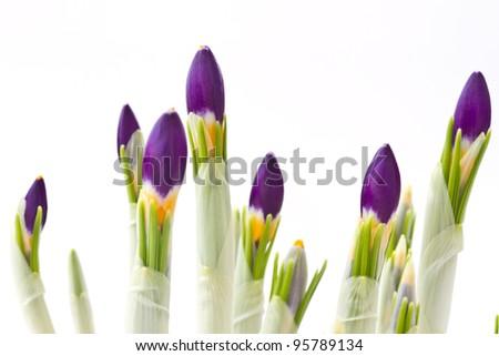 beautiful purple spring crocus on a white background - stock photo