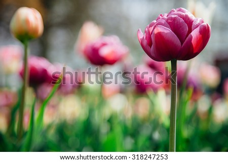 Beautiful  purple tulip flower with bright blurred background