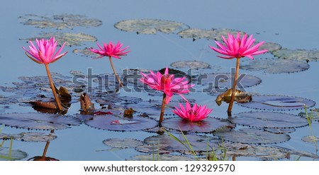 Beautiful purple water lilies floating on a lake - stock photo