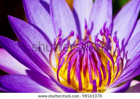 Beautiful purple water lilly or lotus on water - stock photo