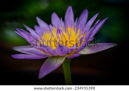Beautiful purple water lily  - stock photo