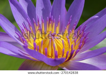 beautiful purple water lily in the garden isolated on white background - stock photo