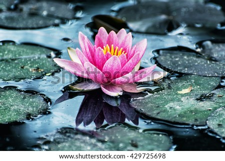 Beautiful purple water lily - Nymphaeaceae - in the garden pond. Cool blue photo filter. Seasonal natural background. Beauty in nature. - stock photo