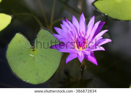Beautiful purple water lily or lotus on water - stock photo
