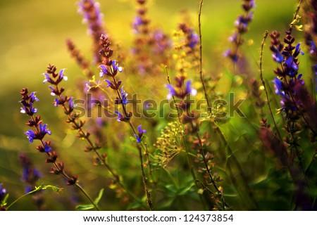 Beautiful purple wild flowers in sunset - stock photo
