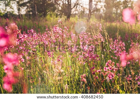 Beautiful purple wildflowers in the meadow at sunset - stock photo