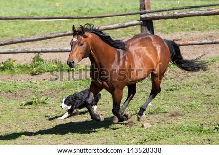 Beautiful Quarter horse stallion running on pasture with Border - stock photo
