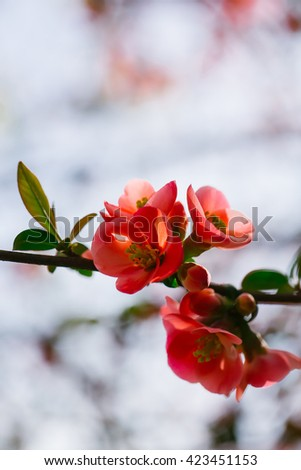 Beautiful quince flowers in blossom
