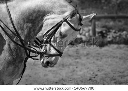 beautiful racehorse, monochrome  - stock photo