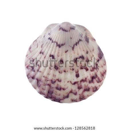 Beautiful Radial Seashell Isolated on White - stock photo