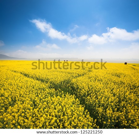 beautiful rapeseed field at riverside against a blue sky in spring - stock photo