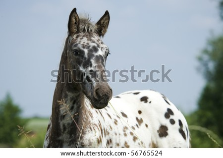 Beautiful rare color appaloosa mixed with friesian horse (appazon) foal in meadow - stock photo