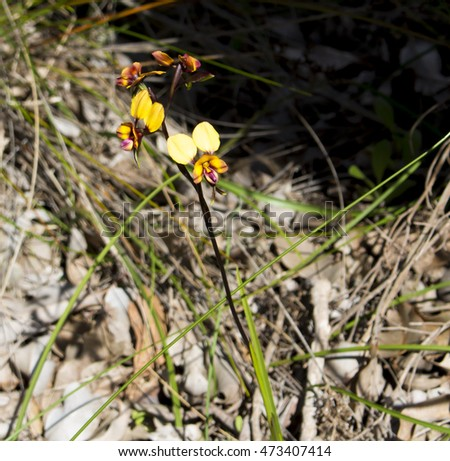Beautiful rare west Australian wild flower Donkey Orchids orchidaceae diuris blooming during late winter to spring in Wireless Hill Nature Reserve, Ardross, Perth, Western Australia .