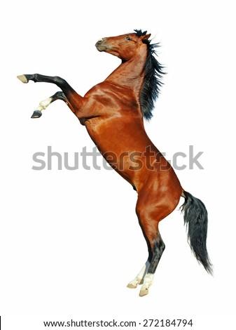 Beautiful rearing bay stallion on white background. - stock photo