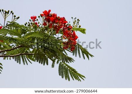 Beautiful red acacia branches. India Goa - stock photo