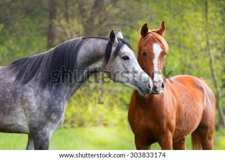 Beautiful red and grey color arabian horse couple in love - stock photo