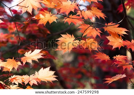 Beautiful red and orange leaves with peak colors. - stock photo