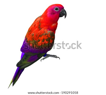 Beautiful Red and purple parrot bird isolated on white background - stock photo