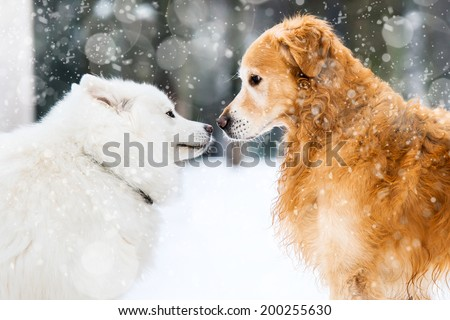 beautiful red and white husky retriever in the snow in winter - stock photo