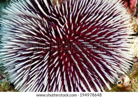 Beautiful Red and White Sea Urchin - stock photo