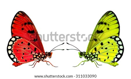 Beautiful Red and Yellow butterflies facing each other on the white background - stock photo