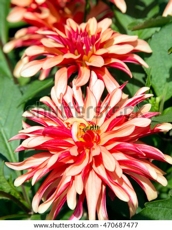 Beautiful red and yellow dahlia flower