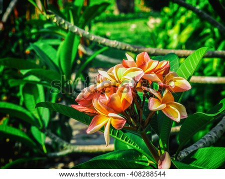 beautiful red and yellow frangipani flowers.  Pagoda tree in the garden with selective focus with border effect