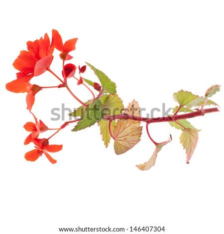 beautiful red begonia isolated on white background - stock photo