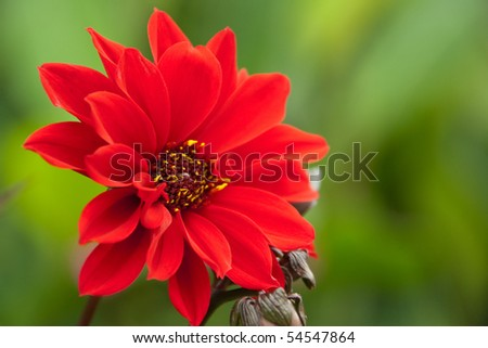 Beautiful red blooming dahlia with a green background - stock photo