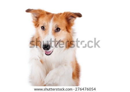 beautiful red border collie dog portrait, isolated on white - stock photo