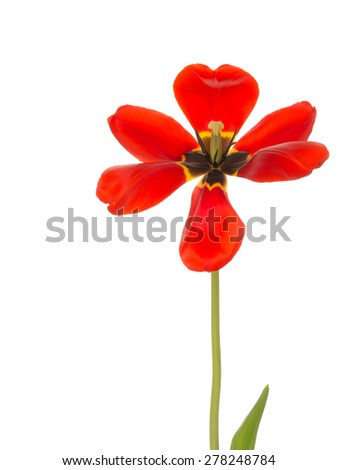 beautiful red bright spring tulip flower with a black and yellow center and stamens on a green stem fully open on a white background