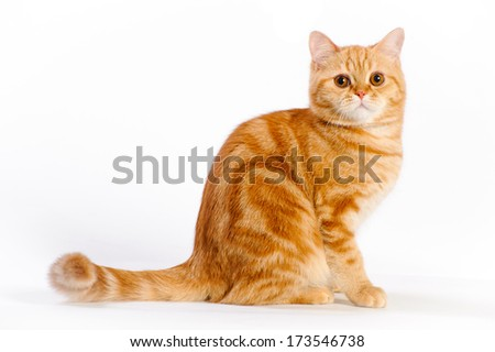 beautiful red british cat in studio on white background - stock photo