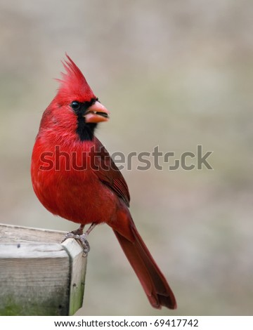 Beautiful red cardinal eating a sunflower seed at a bird feeder - stock photo