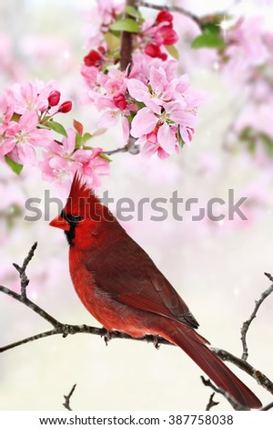 Beautiful red Cardinal sitting amid spring pink tree blossoms. - stock photo