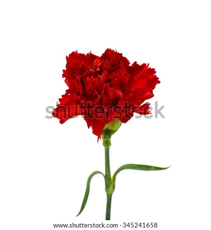 beautiful red carnations flower isolated on white background