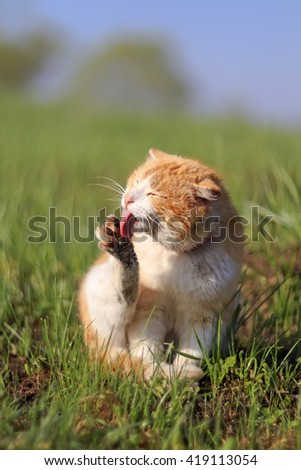 beautiful red cat on a green meadow in the spring washes paws