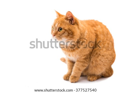 Beautiful red cat on a white background
